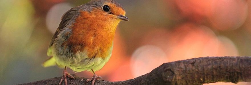 robin-banner